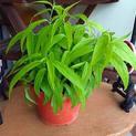 Sabah-Snake-Grass-Clinacanth
