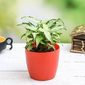 syngonium-podophyllum-mini