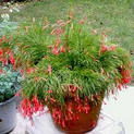 russelia-red-plant