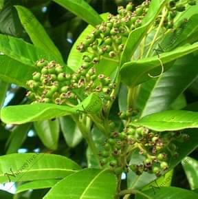 Alspice-plant