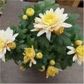Shevanti-white-yellow