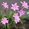 zephyranthes-grandiflora-pin