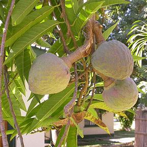 anona-fruit-plant