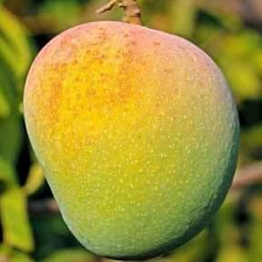 mango-badam