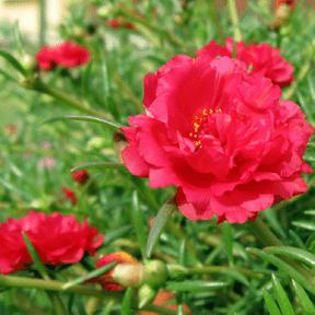 portulaca-red-plant
