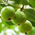 guava-sardar