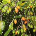 bakul-maulsari