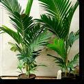 ivory-cane-palm