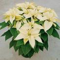 Poinsettia-(yelow)-Plant
