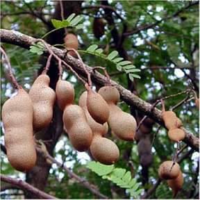 tamarindus-indica-imli