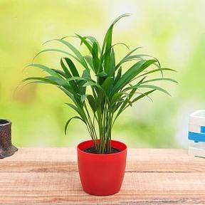 areca-palm-small