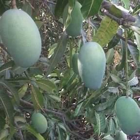 mango-kesar-aam-