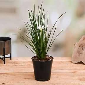 zephyranthes-candida-white-