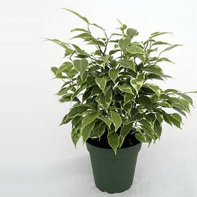 ficus-benjamina-variegata
