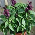 Salvia-Splendens-Purple