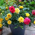 rose-any-color-plant