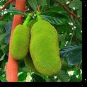 artocarpus-heterophyllus