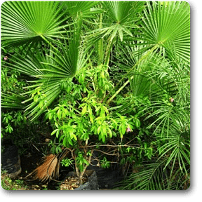 hairpalm