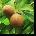 cheeku-plant