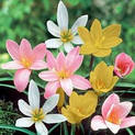 zephyranthes-grandiflora-rai