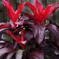 dracaena-mysore-ruby