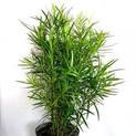 podocarpus-macrophyllus