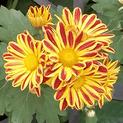 shevanti-yellow-red