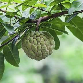custard-apple-sitafal