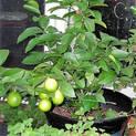 nimboo-lemon-plant