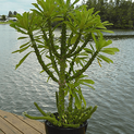 euphorbia-neriifolia