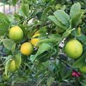 nimboo-lemon-seedless-grafte