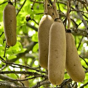 balam-kheeraa-plant