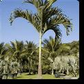 christmas-palm