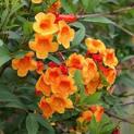 tecoma-orange-plant
