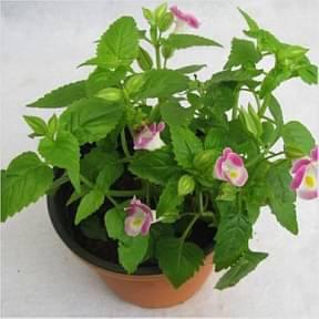 Torenia-Pink