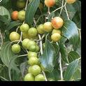 liveber-plant