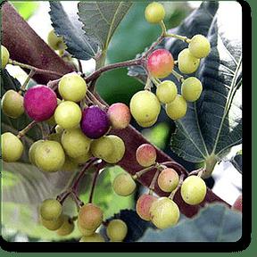 phalsa-plants