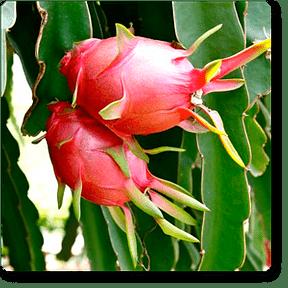 dragonfruit-plant