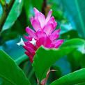 ginger-plant-pink