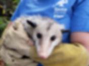 opossum in outreach program.jpg