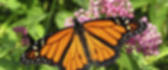monarch butterfly on native milkweed at ijams nature center
