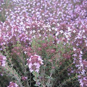 Thymus_vulgaris00a.JPG