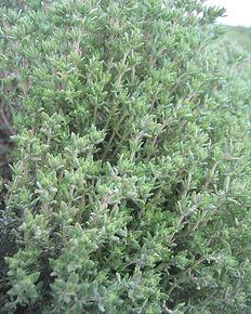 Thymus_vulgaris02d.JPG