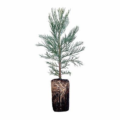 Giant-Sequoia-XL-Etsy-Small_1024x1024%40