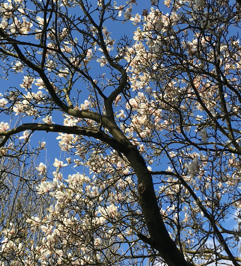 Flowers in blossom on a tree - a peaceful scene