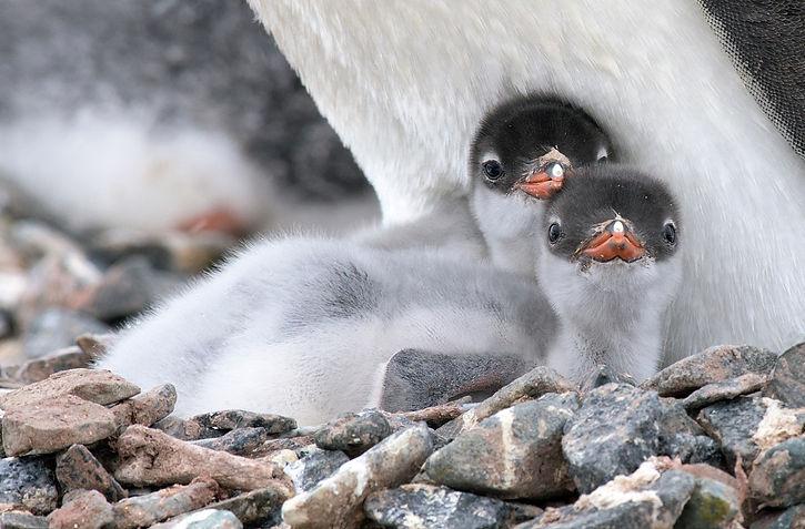 Gentoo_Penguin_Baby_(24940373075).jpg