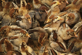 chicken_chicks_baby_birds_poultry_young_