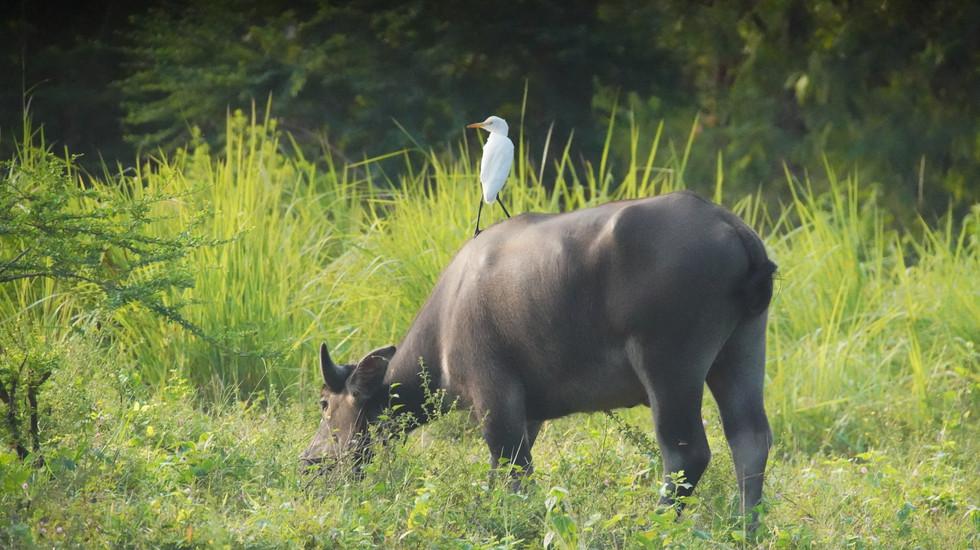 Buffle d'eau et héron garde-bœufs