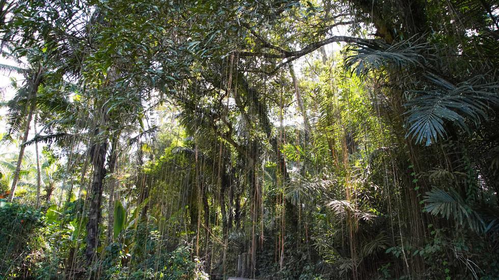 Jungle balinaise