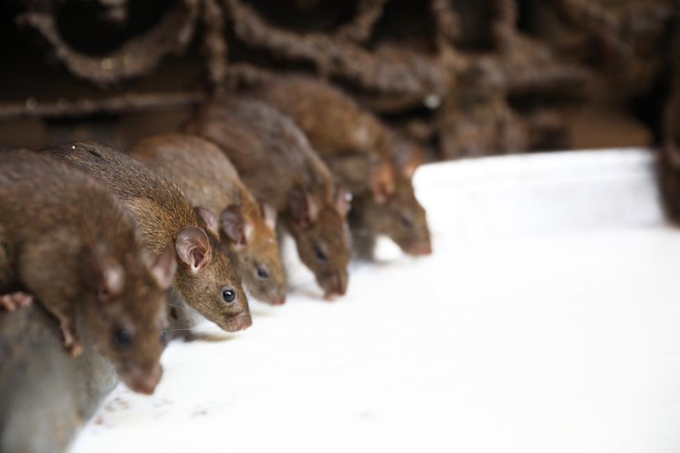 Rats du temple de Karni Mata